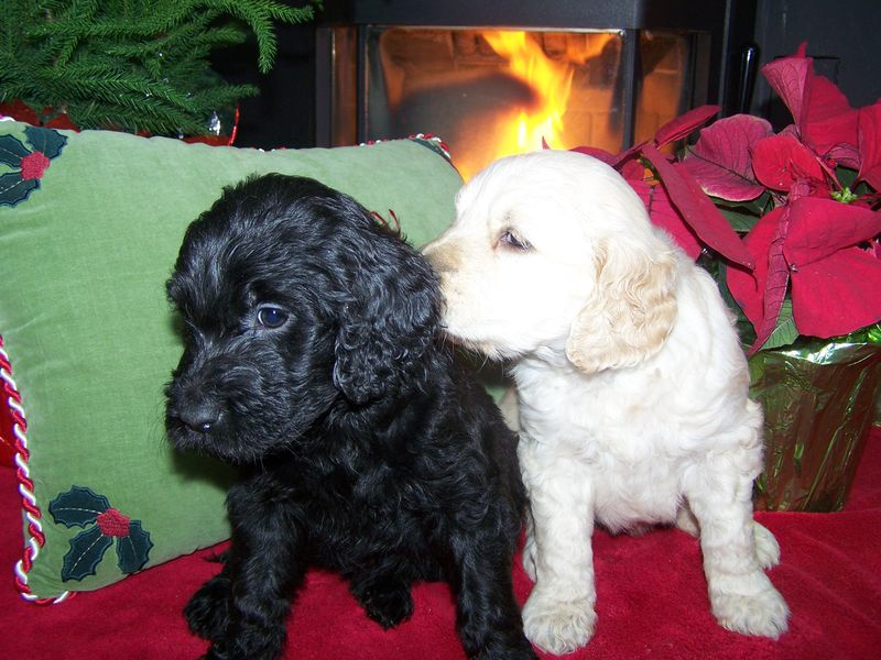 black goldendoodle puppy. lack goldendoodle puppies