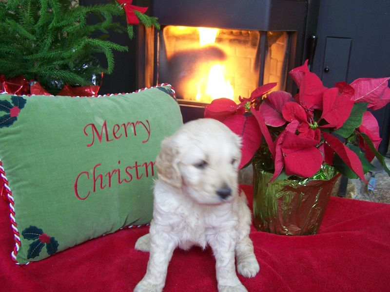 goldendoodle dogs. Goldendoodle puppies ready